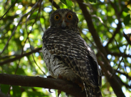 Powerful Owl sitting on branch in Ninox Environmental Reserve