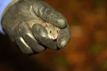 The water mouse, one of Australia's rarest rodents