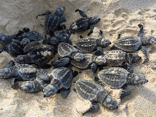 turtles, hatchlings