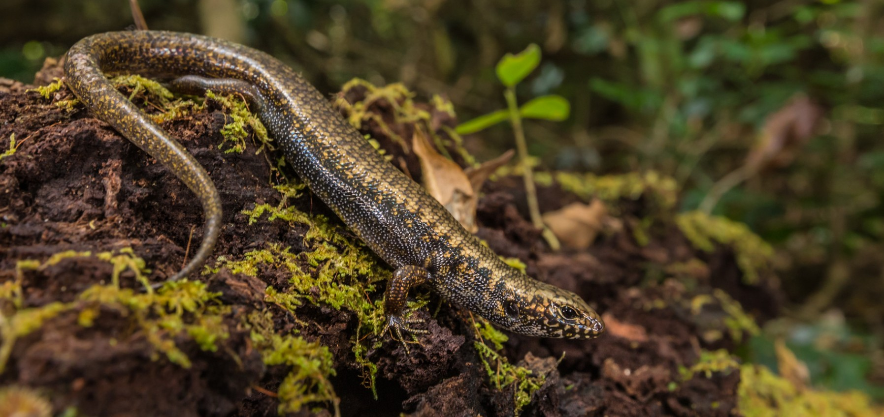 Skink lizard in the forest
